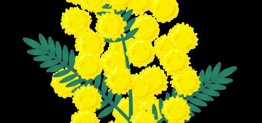 商用フリー・無料イラスト_ミモザの花のイラスト_MimosaIllustration001