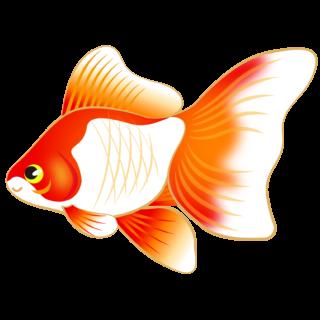 商用フリー・無料イラスト_金魚のイラスト(琉金・リュウキン)_kingyo_Goldfish002